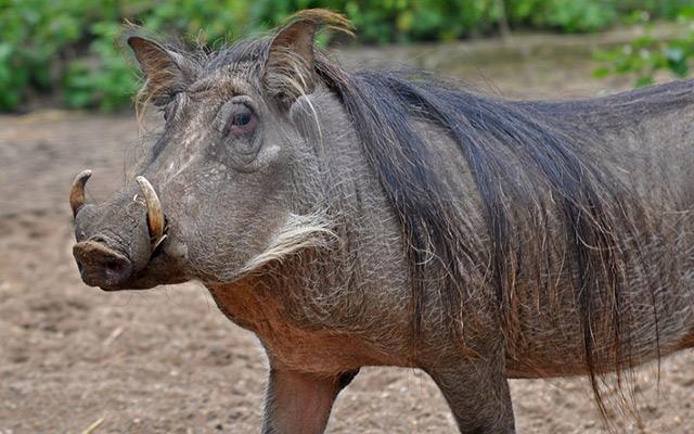 Warthog3